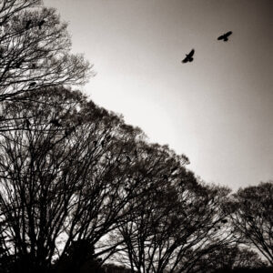 Trees full of crows at Yoyogi Park in Tokyo